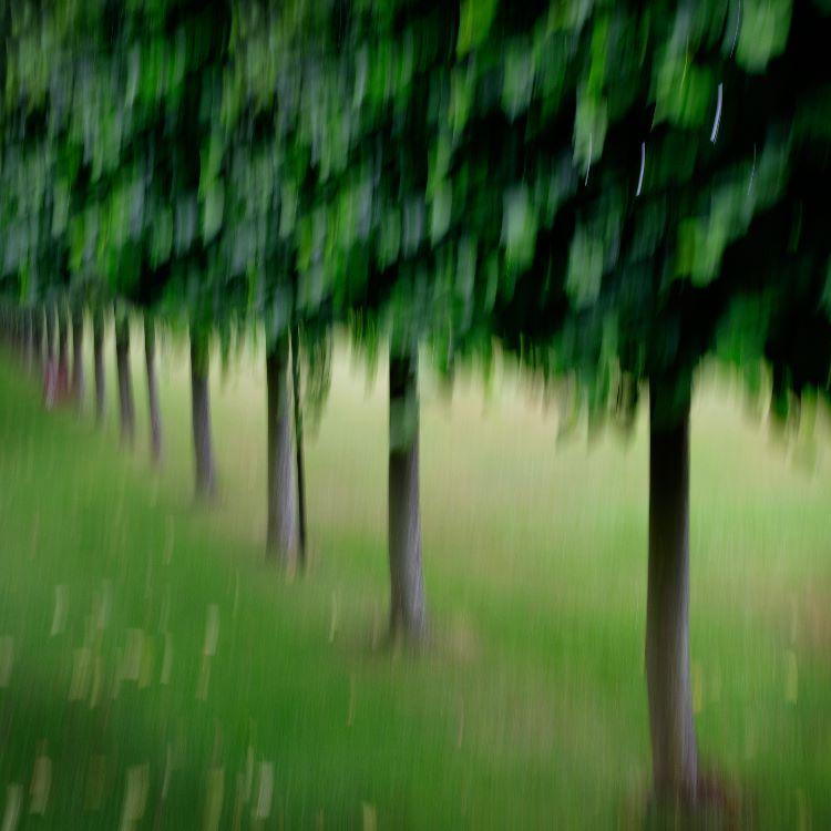 Erddig Lime Trees