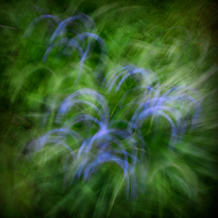 Llangoed Bluebells 3