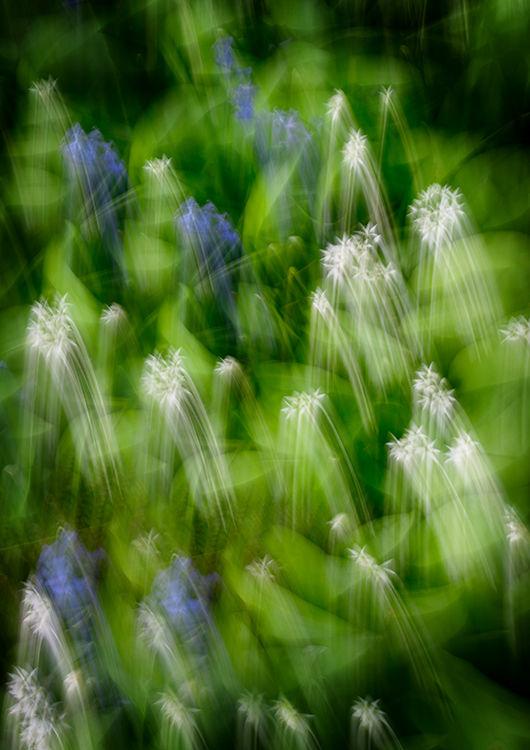 Llangoed Garlic & Bluebells
