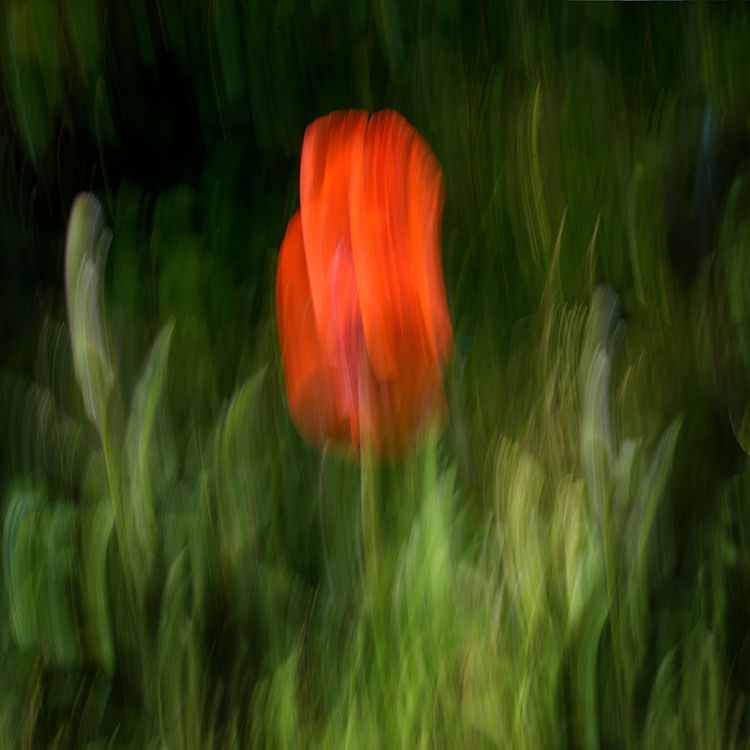 Llangoed Poppy