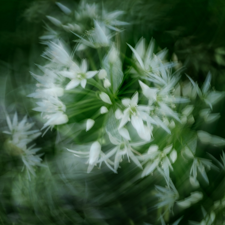Llangoed wild garlic