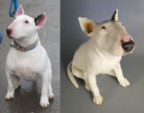 Lucy, Bull Terrier Commission 2012