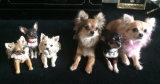 Chihuahua Chorus Line! 2014