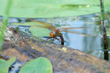 Dragonfly Laying