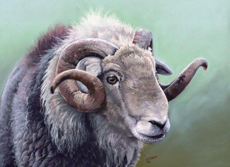Herdwick Ram 3