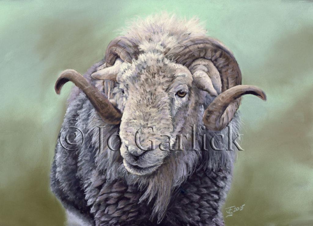 Herdwick Ram 1