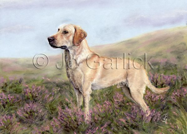 Jazz (Yellow Labrador)