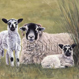 Swaledale Sheep and Lambs