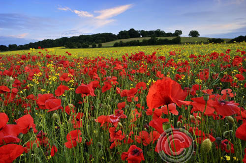 Poppies, Kent