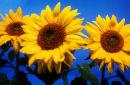 3 sunflowers against blue