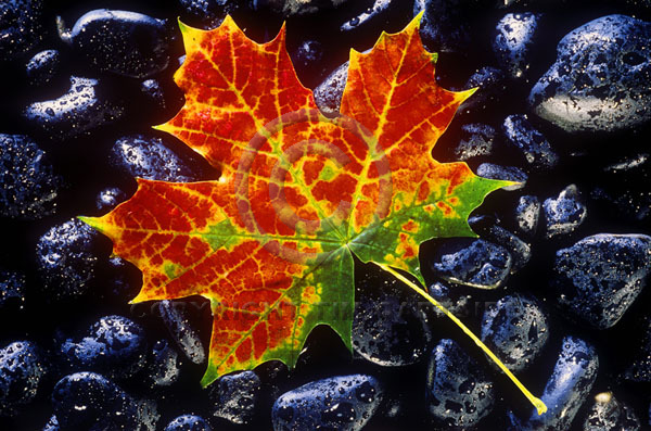 autumn leaf on black stones