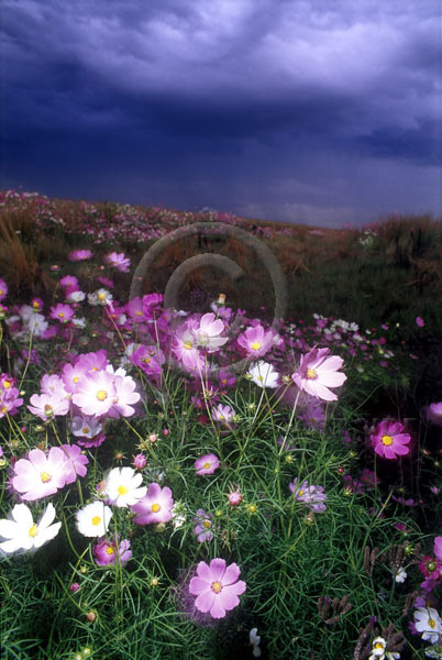cosmos flowers south africa