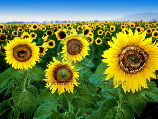 sunflowers cordoba spain