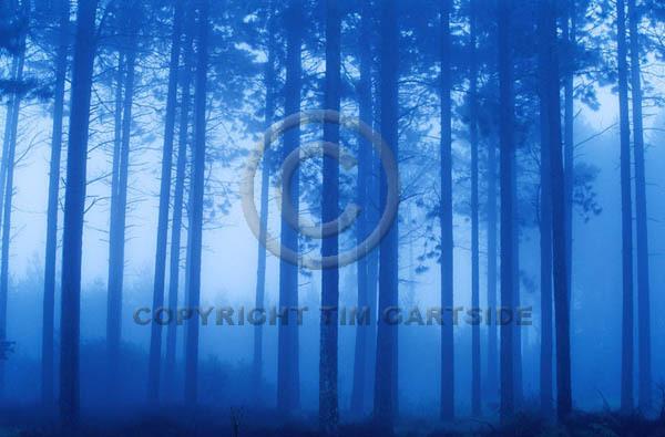misty blue trees