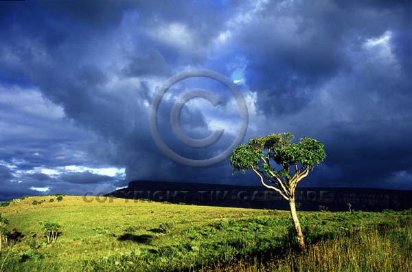 stormy tree south africa