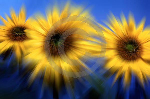 sunflower blur1