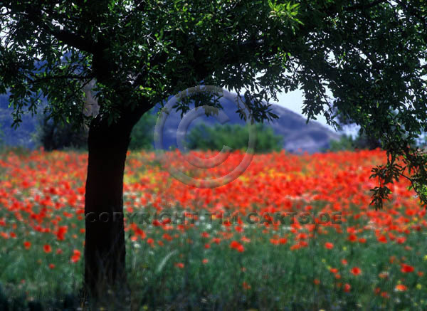 tree and poppies