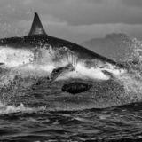 Shark finishing