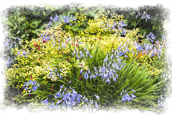 Bluebells and Fuschias