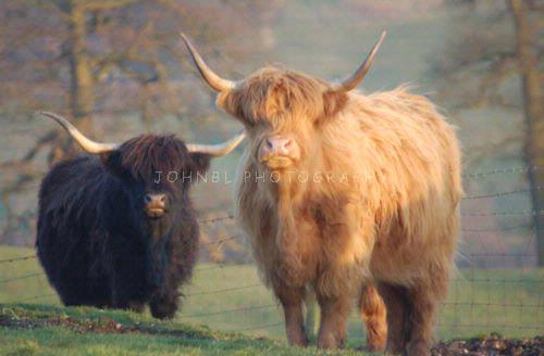 Keith's Highland cattles