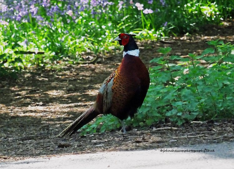 Pheasant in the Bluebell Woods