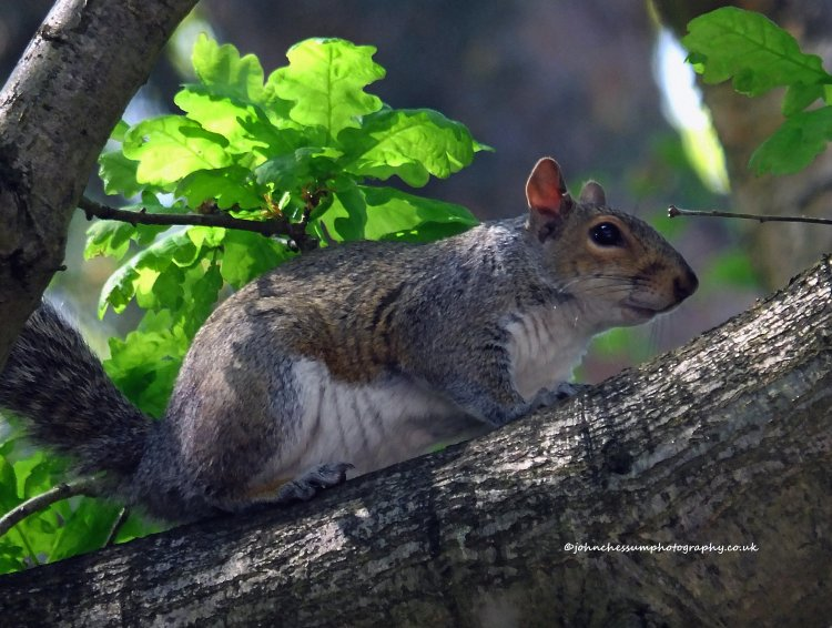 Grey Squirrel in an oak tree