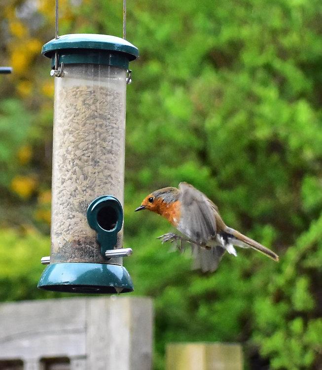 Robin landing on seed feeder