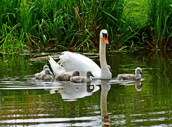 Mute Swan and Signets