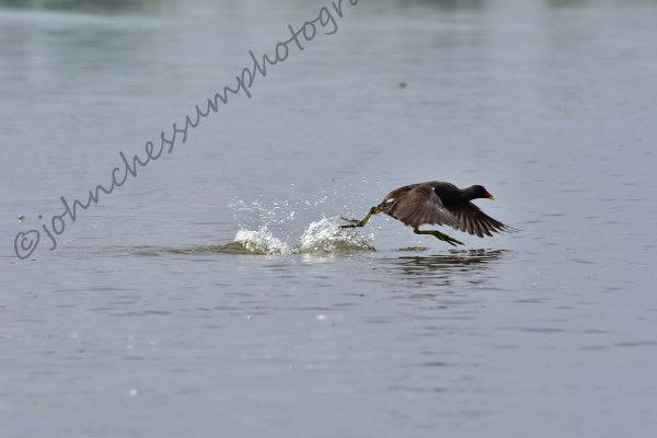 Moorhen walking on water