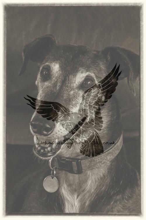Jett an ex racing greyhound