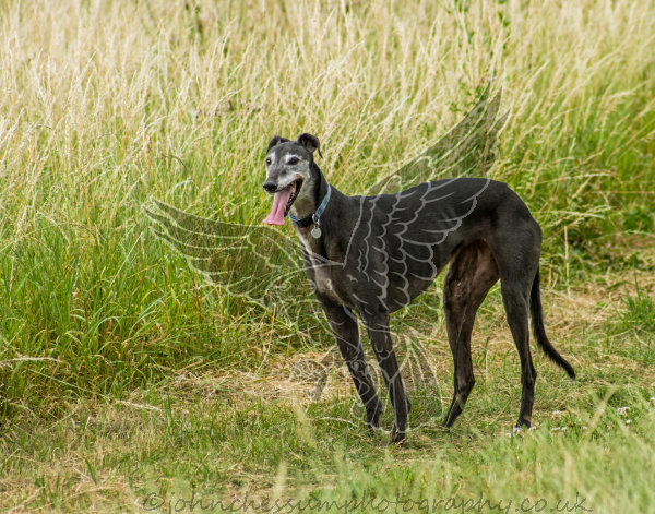 Jett an ex racing greyhound