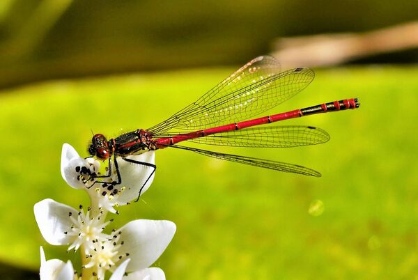 common red damselfly