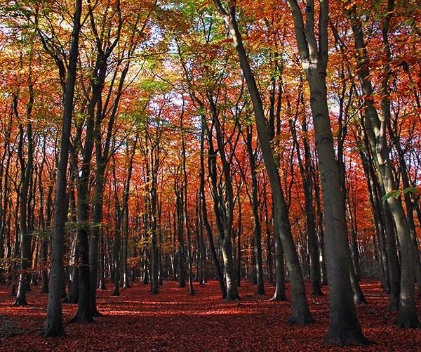 Autumn Beech 3