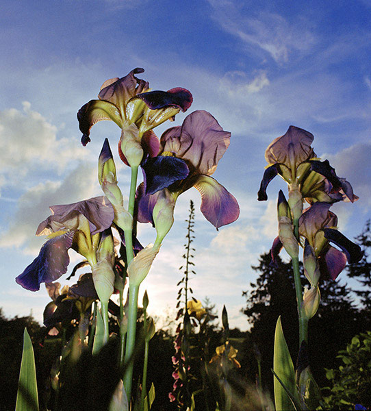 Giant Iris