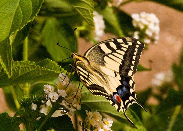 Papilio Hospiton Swallowtail 2