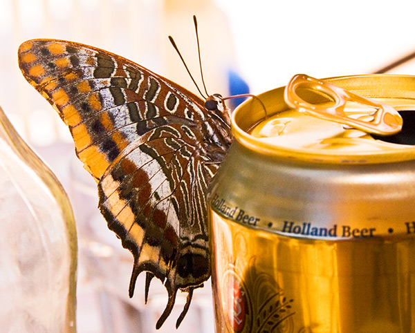 Butterfly drinks golden nectar!