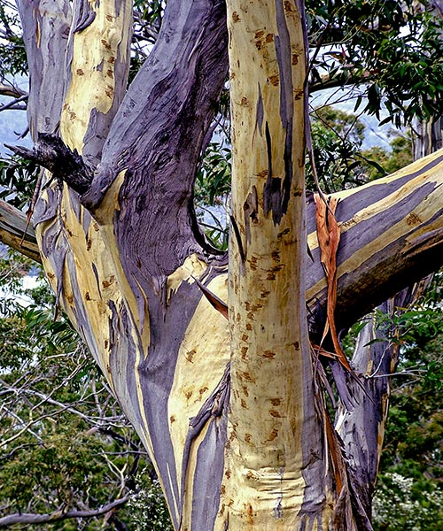Eucalyptus, Tasmania