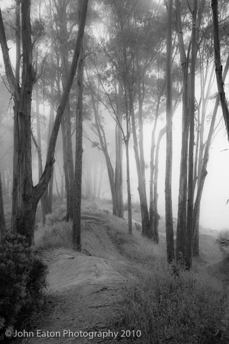 Eucalyptus, Capitola #1