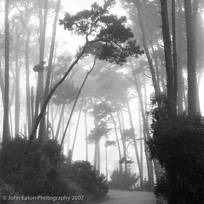Monterey Pines #2