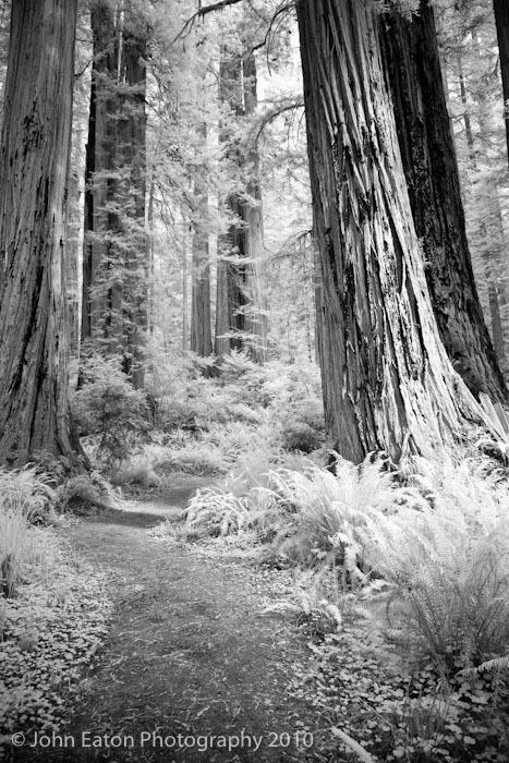 Redwoods #1