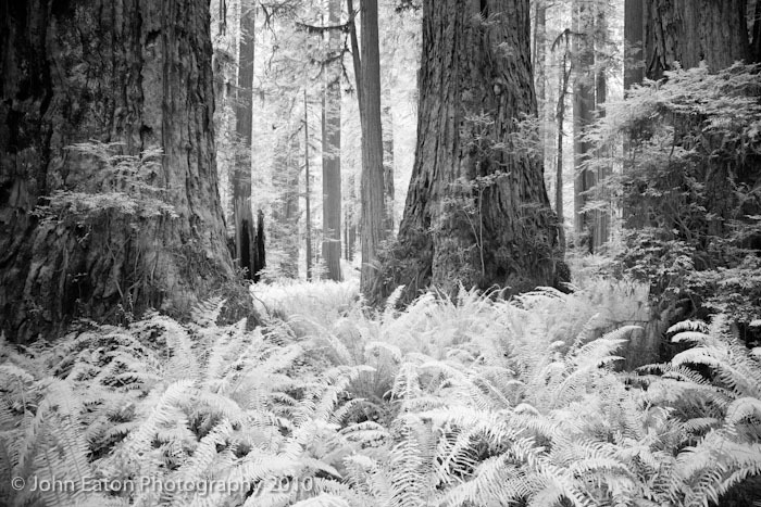 Redwoods #2