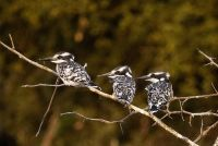 Young Pied Kingfishers