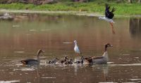 Egyptian Geese & Black Winged Stilts