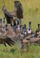 White-backed Vultures & Jackal