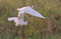 Little & Yellow-billed Egrets