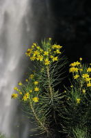 Euryops & Waterfall