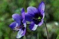 Geissorhiza Splendidissima'Blue Pride of Nieuwoudtville'