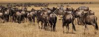 Wildebeest Procession