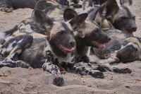 Painted Pups