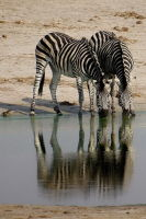 Zebra Reflected